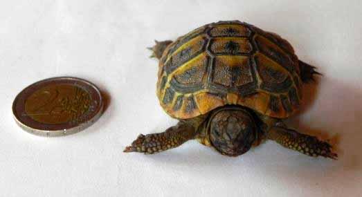 Acheter une tortue de terre